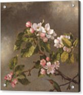 Hummingbird And Apple Blossoms Acrylic Print
