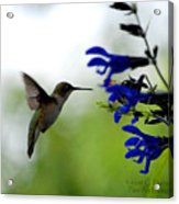 Hummingbird And Blue Flowers Acrylic Print