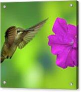 Hummingbird And Flower Acrylic Print