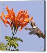 Hummingbird And Honeysuckle Acrylic Print