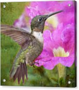 Hummingbird And Petunias Acrylic Print by Bonnie Barry