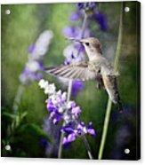 Hummingbird And Purple Lupine  Acrylic Print