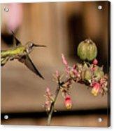 Hummingbird And Red Yucca Acrylic Print