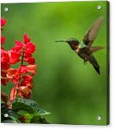 Hummingbird And Scarlet Sage Acrylic Print