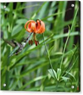 Hummingbird And Tiger Lilly Acrylic Print
