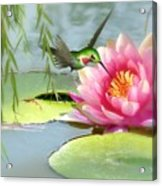 Hummingbird And Water Lily Acrylic Print