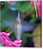 Hummingbird Angel Acrylic Print