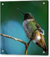 Hummingbird At Rest Acrylic Print