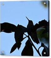 Hummingbird At Sunrise Silhouette Acrylic Print