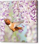Hummingbird At Wisteria Acrylic Print
