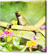Hummingbird Attitude - Digital Paint 1 Acrylic Print