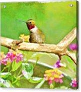 Hummingbird Attitude - Digital Paint 2 Acrylic Print