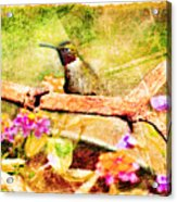 Hummingbird Attitude - Digital Paint 4 Acrylic Print