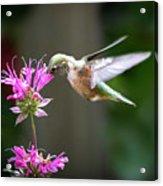 Hummingbird Beauty Acrylic Print
