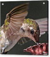 Hummingbird. Acrylic Print