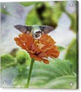Hummingbird Bow Acrylic Print