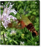 Hummingbird Clear-wing Moth At Monarda Acrylic Print