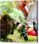 Hummingbird Close Encounter Acrylic Print