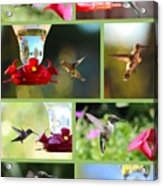 Hummingbird Collage 2 Acrylic Print