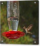 Hummingbird Coming For Dinner Acrylic Print