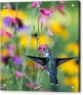 Hummingbird Dance Acrylic Print by Dana Moyer