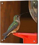 Hummingbird De Acrylic Print