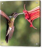 Hummingbird Enjoying Beautiful Flower Acrylic Print