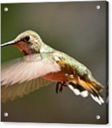 Hummingbird Facing Left Acrylic Print