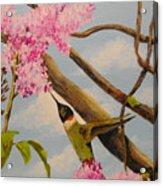 Hummingbird Feeding On Lilac Acrylic Print