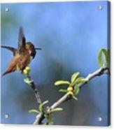 Hummingbird Feeling Frisky 1 Acrylic Print