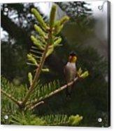 Hummingbird Flashing Acrylic Print