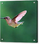 Hummingbird Flickering Its Tongue Acrylic Print