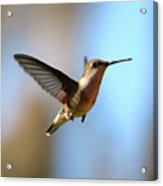 Hummingbird Friend Acrylic Print