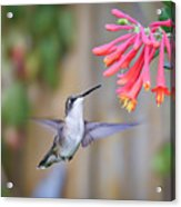 Hummingbird Happiness 2 Acrylic Print