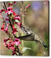 Hummingbird Haven  Acrylic Print