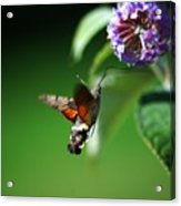 Hummingbird Hawk Moth - Five Acrylic Print