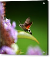 Hummingbird Hawk Moth - Four Acrylic Print