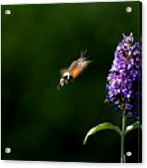 Hummingbird Hawk Moth - Three Acrylic Print