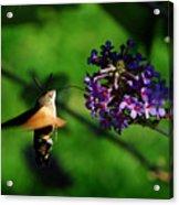Hummingbird Hawk Moth 2 Acrylic Print