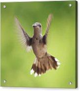 Hummingbird Hello There Acrylic Print