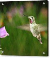 Hummingbird Hovering In Rain Acrylic Print