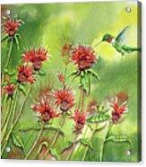 Hummingbird In Beebalm Acrylic Print