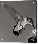 Hummingbird In Black And White Acrylic Print