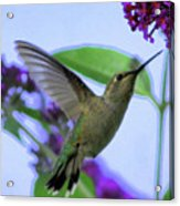 Hummingbird In Butterfly Bush Acrylic Print