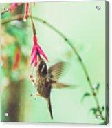Hummingbird In Flight Sucking On A Juicy Pink Flower Acrylic Print