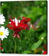 Hummingbird In Flowers Acrylic Print