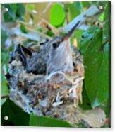 Hummingbird In Nest 1 Acrylic Print