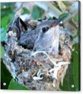 Hummingbird In Nest 2 Acrylic Print