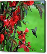 Hummingbird In The Flowering Quince - Digital Painting Acrylic Print