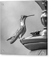 Hummingbird Intrigue  Acrylic Print